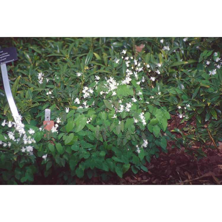 Epimedium ×youngianum 'Niveum' - snowy fairy-wings