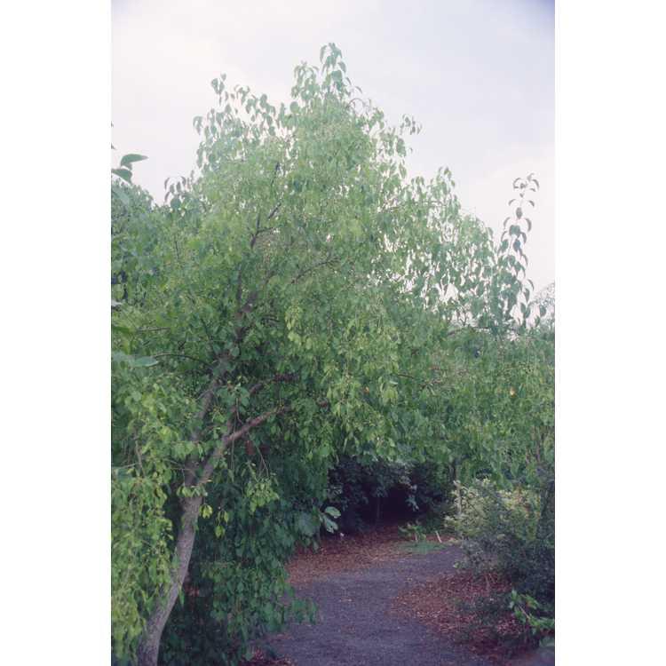 Euonymus bungeanus - winterberry euonymus