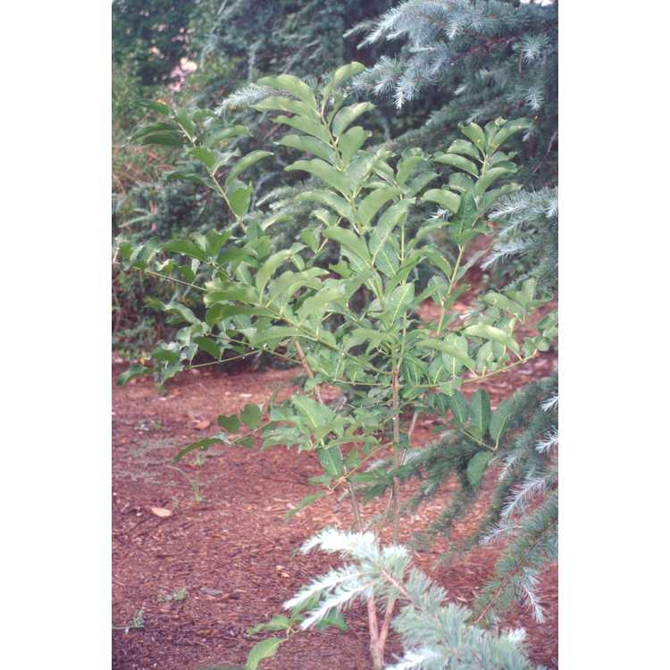 Euonymus oxyphyllus - Korean spindle tree
