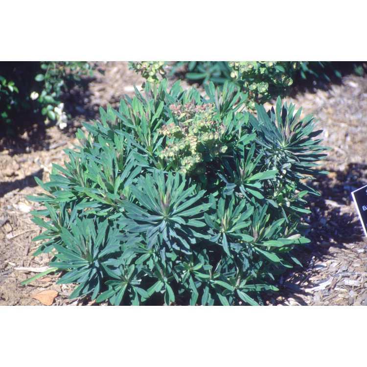 Euphorbia ×martinii - wood spurge