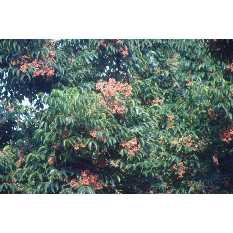 Euscaphis japonica - sweetheart tree