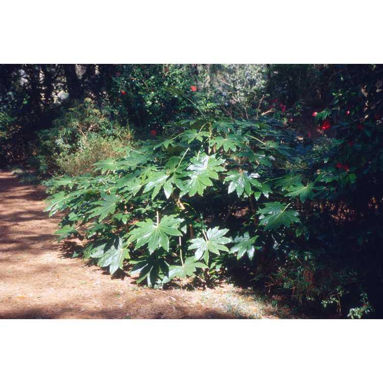 Fatsia japonica - Japanese fatsia