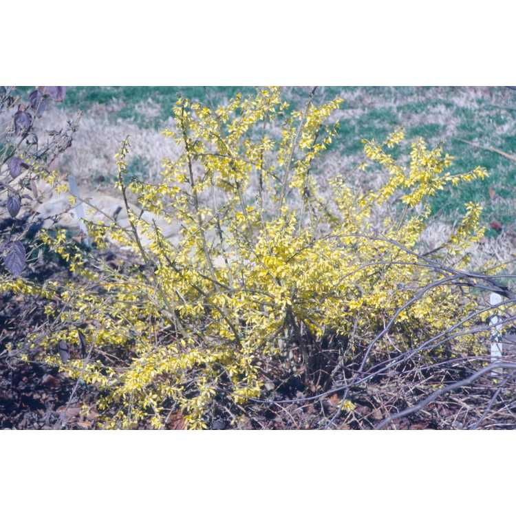 Forsythia Courtasol Gold Tide