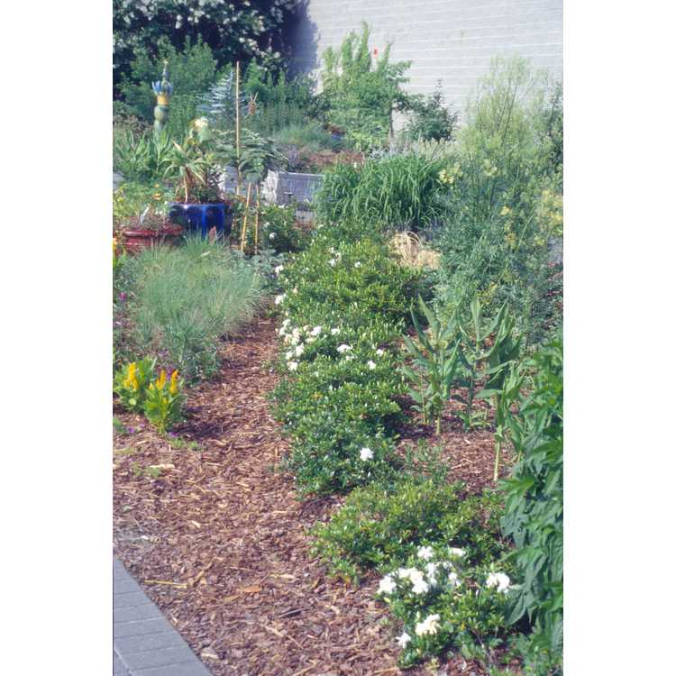 Gardenia jasminoides 'Radicans' - dwarf Cape jessamine