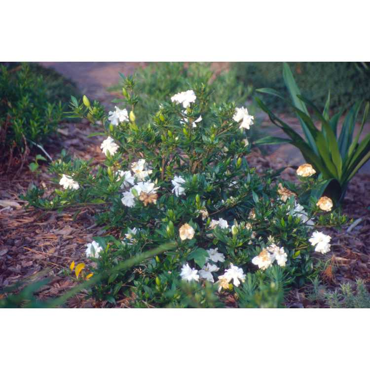 Gardenia jasminoides 'Radicans'