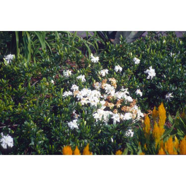 Gardenia jasminoides 'Radicans' - dwarf gardenia