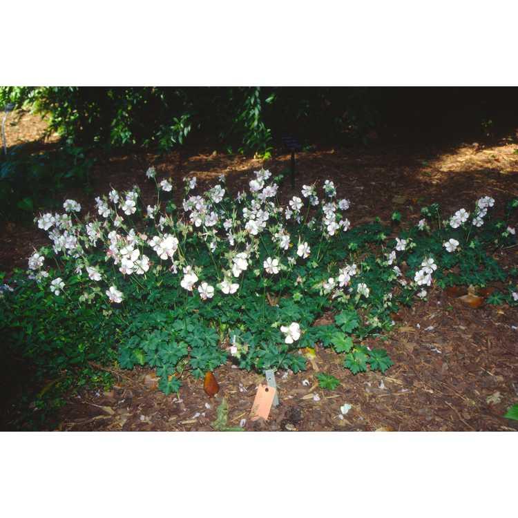 Geranium ×cantabrigiense 'Biokovo'