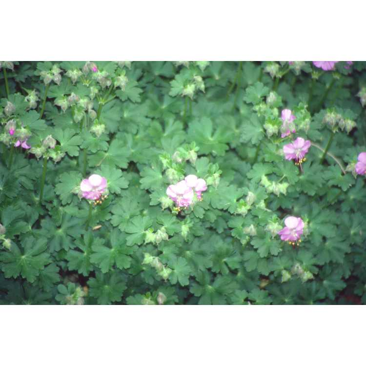 Geranium ×cantabrigiense 'Cambridge'