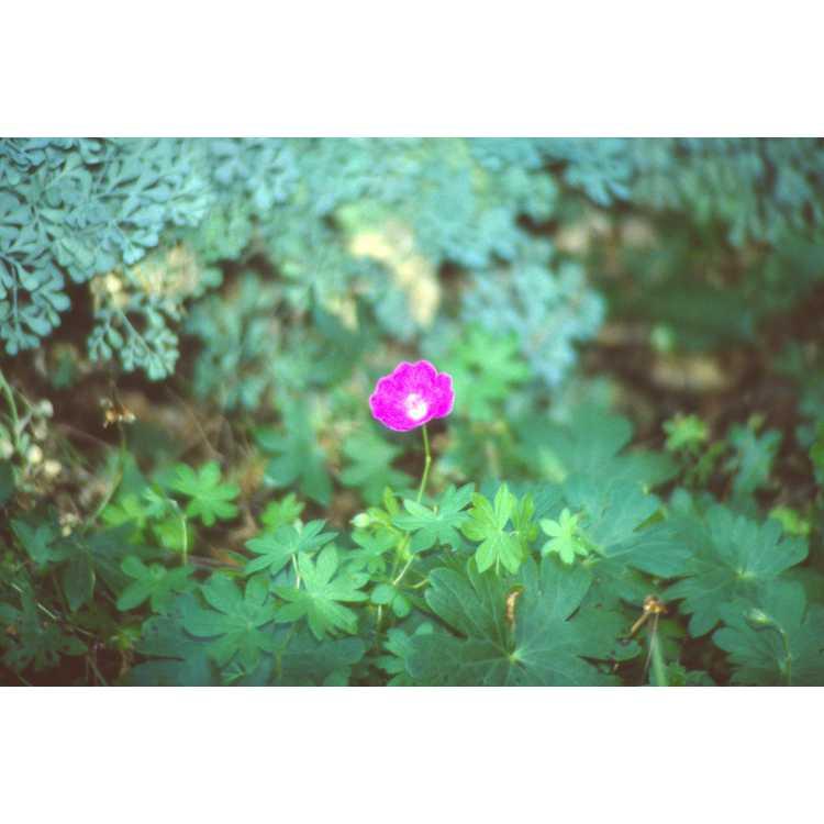 Geranium sanguineum 'New Hampshire Purple'