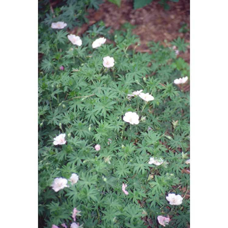 Geranium sanguineum var. striatum - perennial geranium