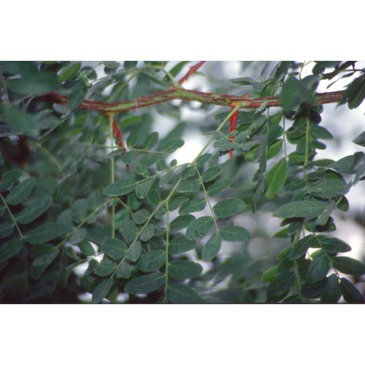 Gleditsia japonica var. koraiensis