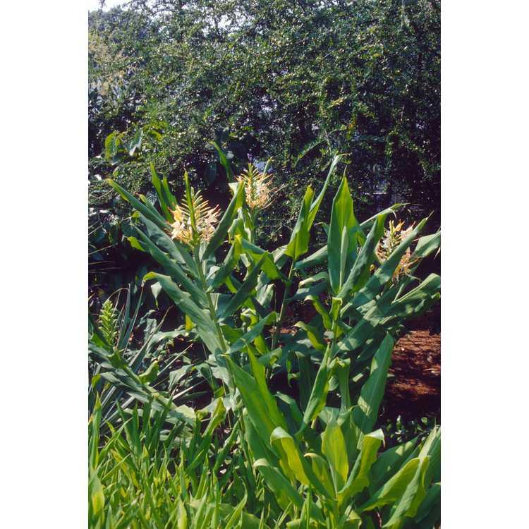 Hedychium gardnerianum 'Extenda'