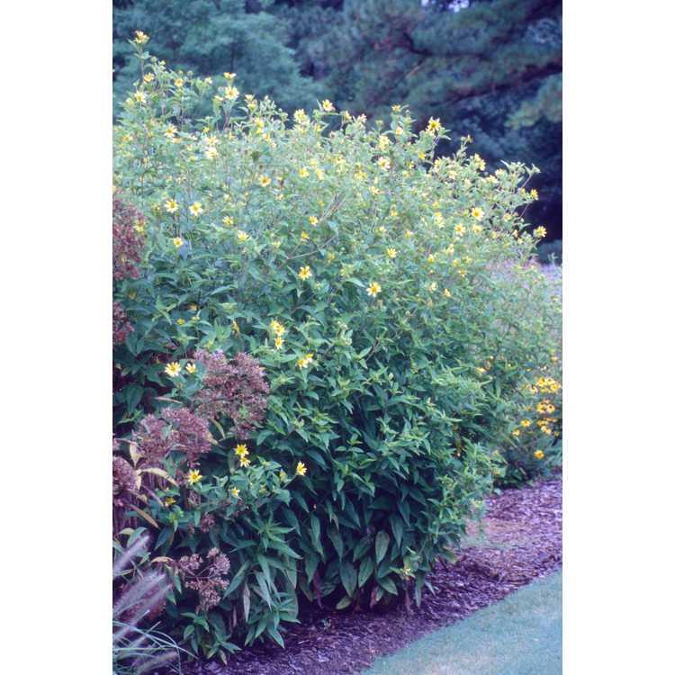 Helianthus 'Lemon Queen' - sunflower