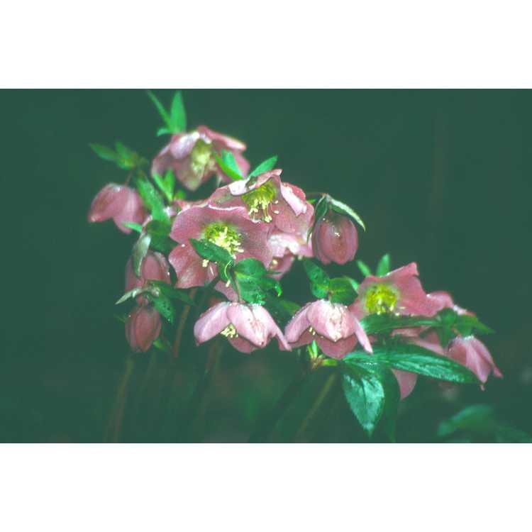 Helleborus atrorubens