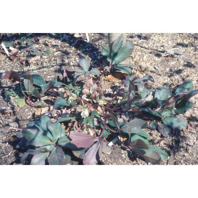 Helleborus ×ericsmithii - Lenten rose