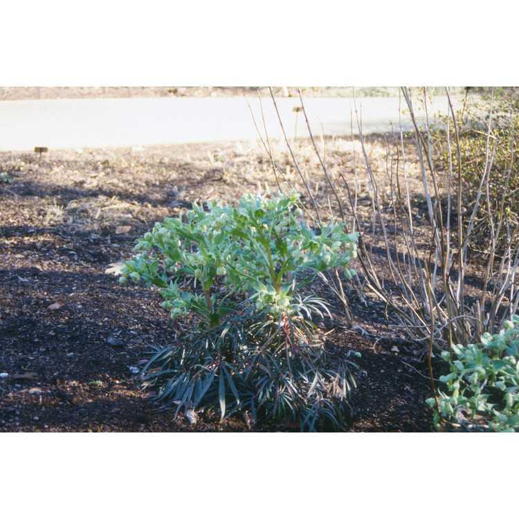 Helleborus foetidus - bearsfoot hellebore