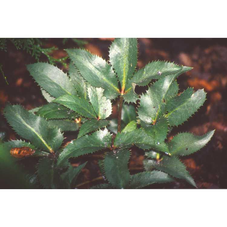 Helleborus ×sternii