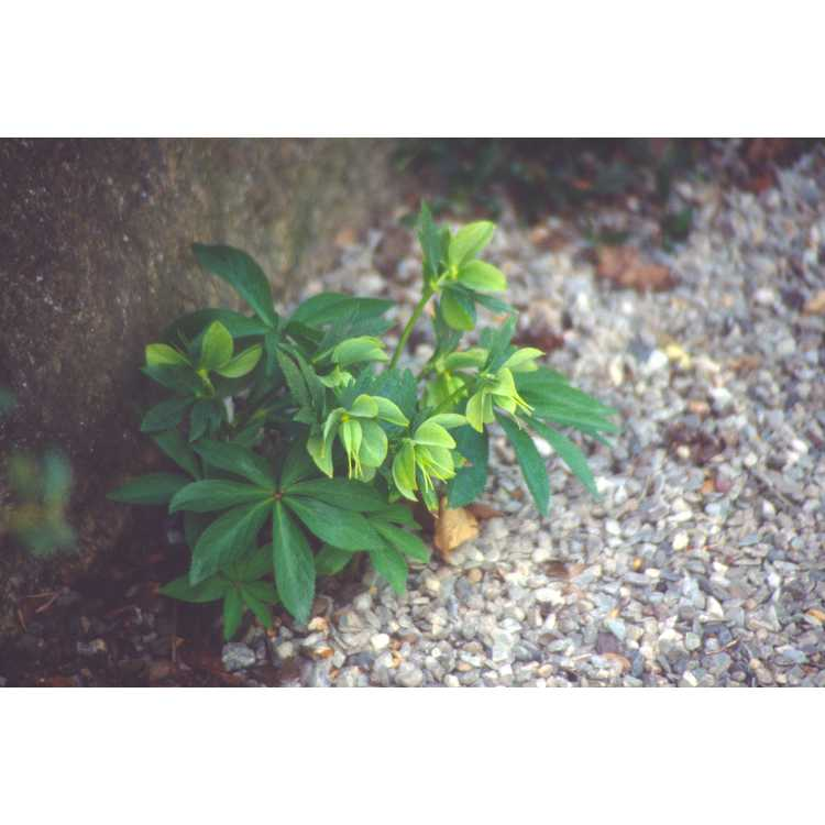 Helleborus viridis - green hellebore