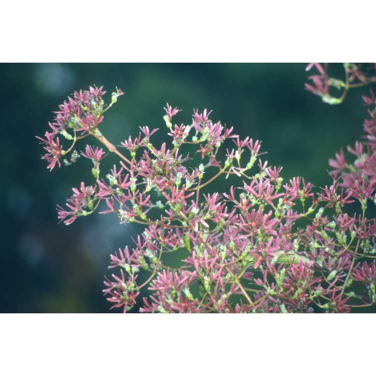 Heptacodium miconioides - seven-son's tree
