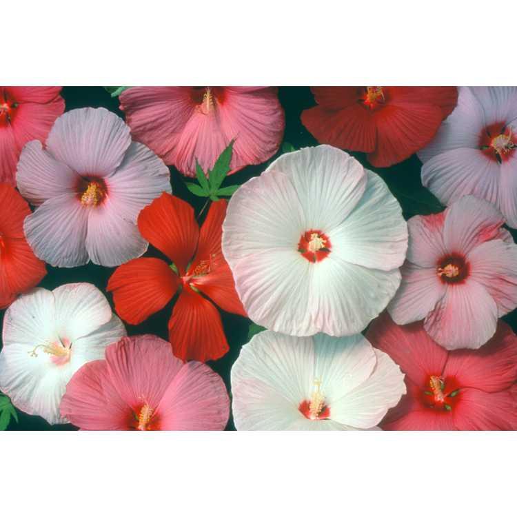 Hibiscus moscheutos - swamp rose-mallow