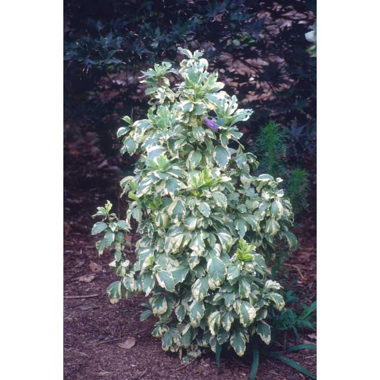 Hibiscus syriacus 'Purpureus Variegatus' - variegated rose-of-Sharon