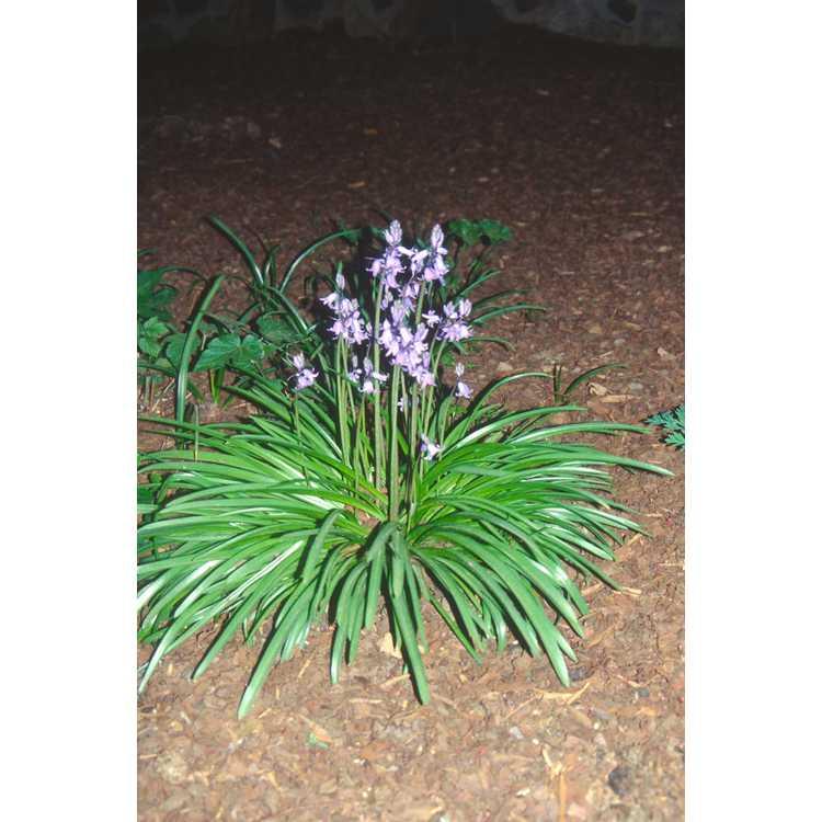 Hyacinthoides hispanica - Spanish bluebells