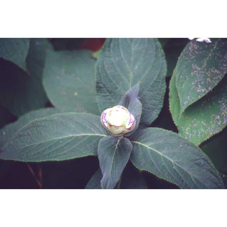 Hydrangea strigosa