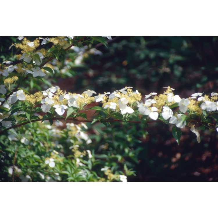 Hydrangea luteovenosa - sweet hydrangea