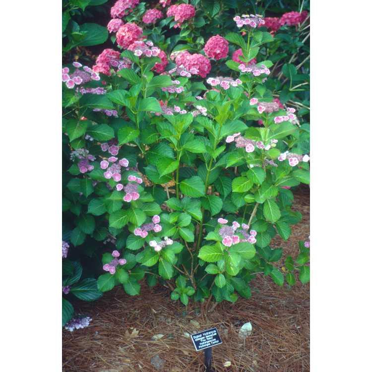 Hydrangea macrophylla 'Frau Reiko' - bigleaf hydrangea