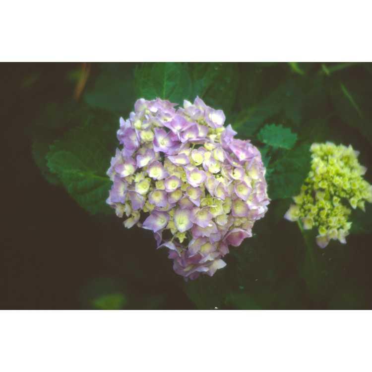 Hydrangea macrophylla 'Goliath' - mophead French hydrangea