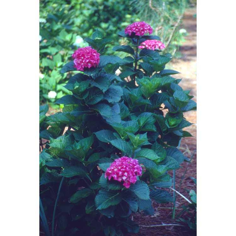Hydrangea macrophylla 'Oregon Pride' - bigleaf hydrangea