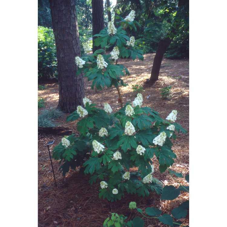 Hydrangea quercifolia 'Flemygea' - Snow Queen oakleaf hydrangea