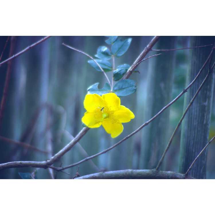 Hypericum latisepalum
