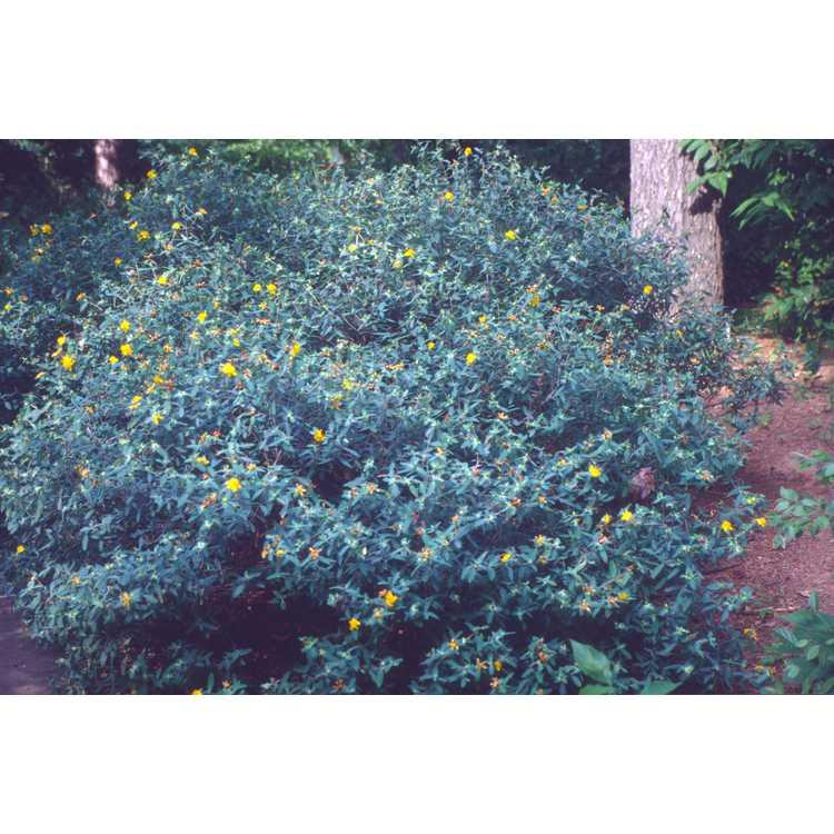 Hypericum frondosum - golden St. John's-wort