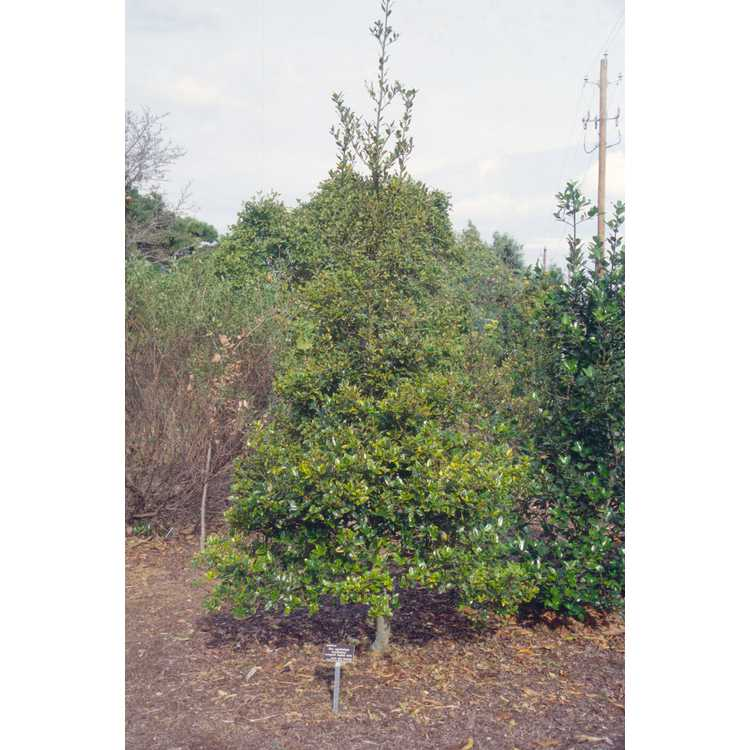 Ilex aquifolium 'Aurifodina' - variegated English holly