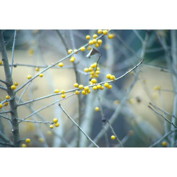 Ilex decidua 'Finch's Golden'