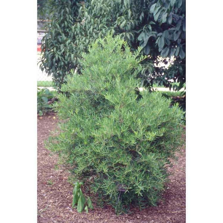 Ilex myrtifolia 'Woodlander's Weeping'