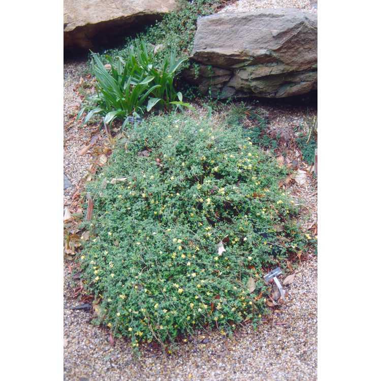 Jasminum parkeri - Parker's jasmine