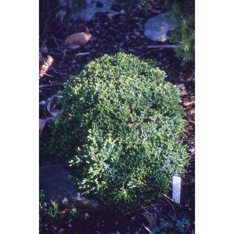 Juniperus chinensis 'Echiniformis' - hedgehog Chinese juniper