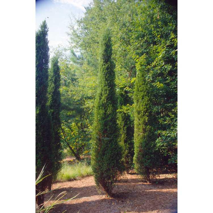 Juniperus chinensis 'Spartan' - columnar Chinese juniper