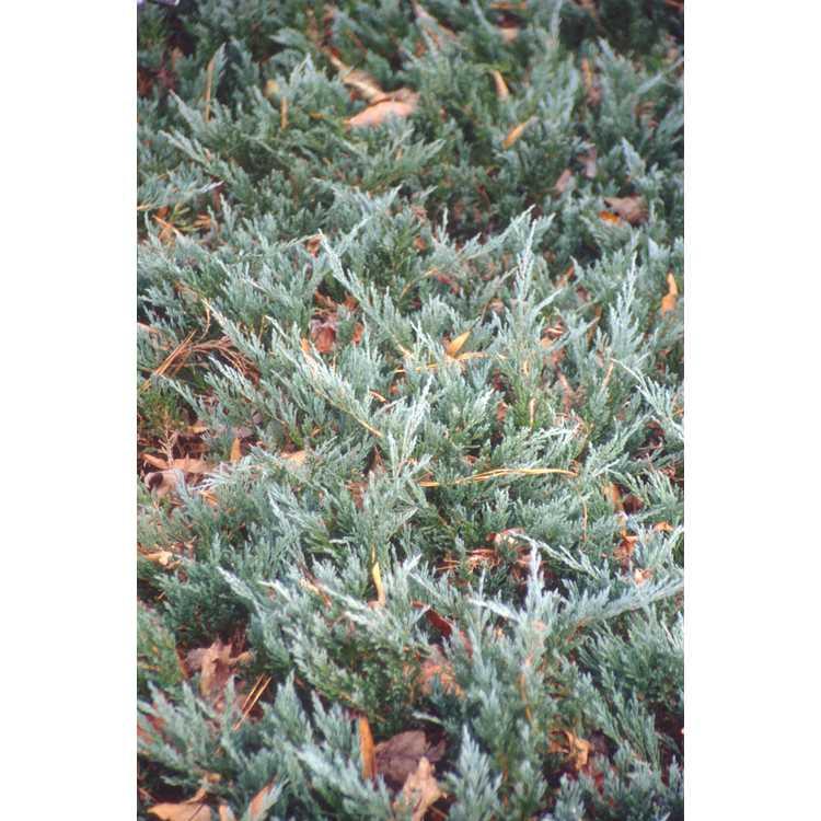 Juniperus horizontalis 'Silver Sheen'