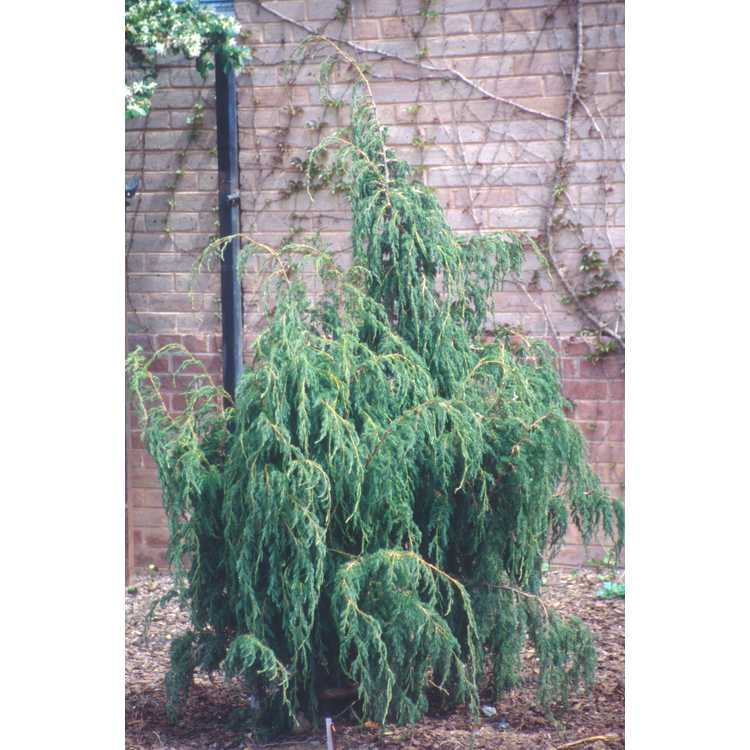 Juniperus pingii - Ping's juniper