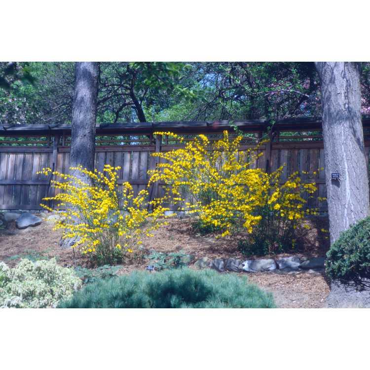 Kerria japonica - Japanese kerria