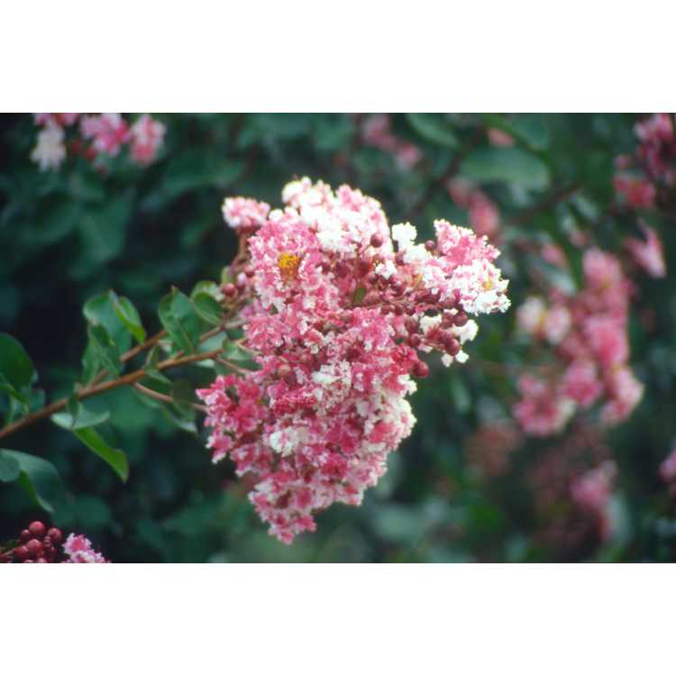 Lagerstroemia indica Prairie Lace