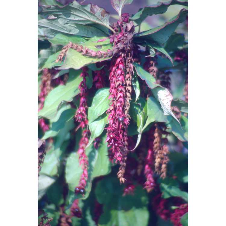 Leycesteria formosa - Himalayan honeysuckle