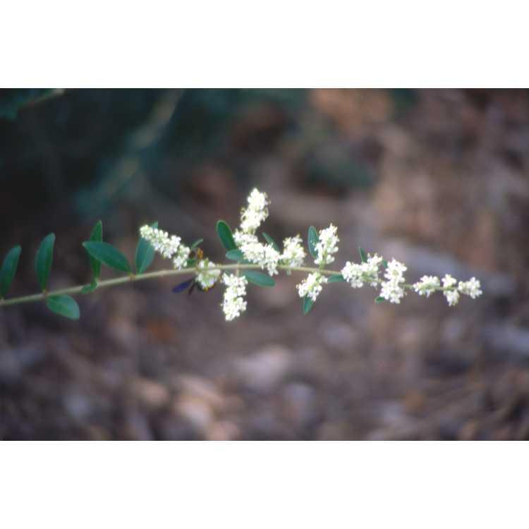 Ligustrum quihoui - flowering privet