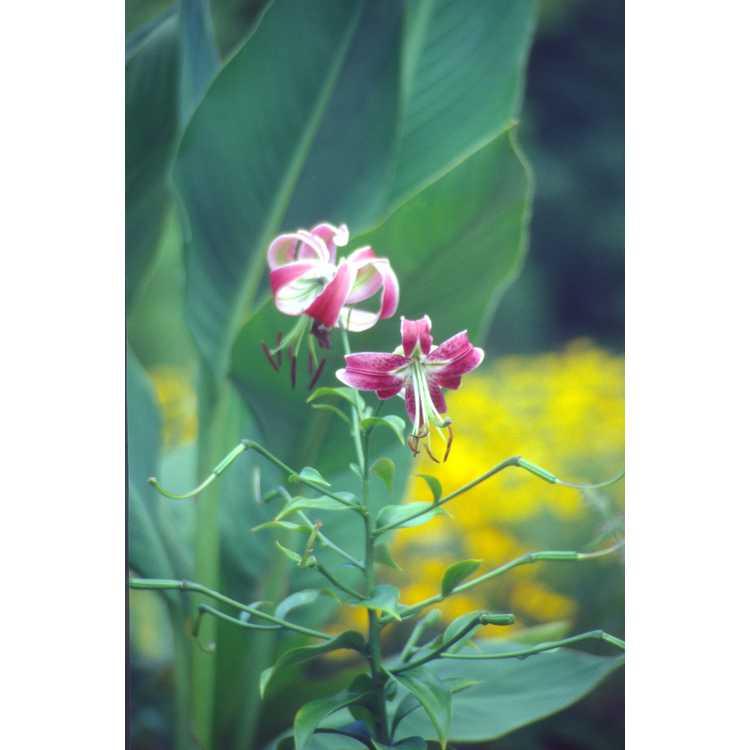 Lilium 'Black Beauty'