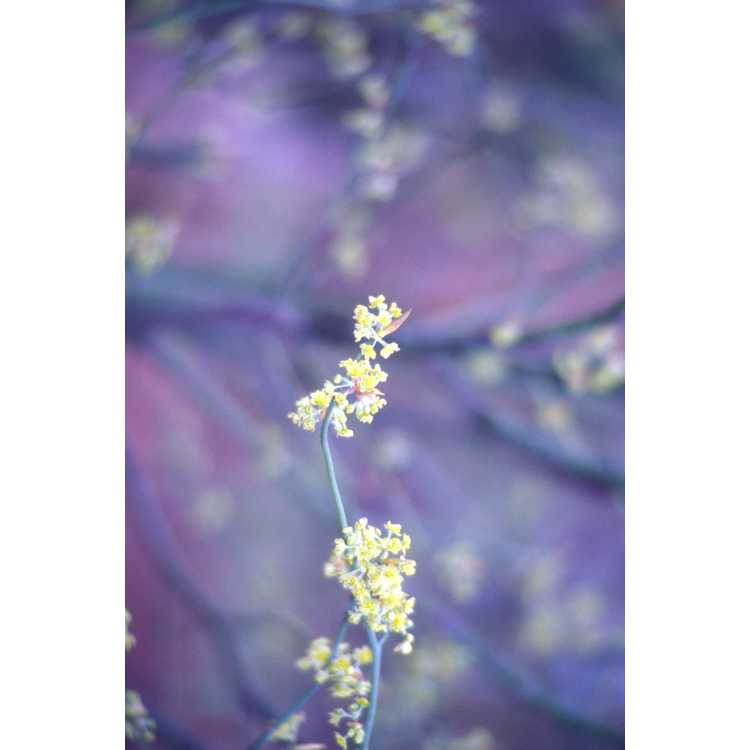 Lindera reflexa - mountain spicebush