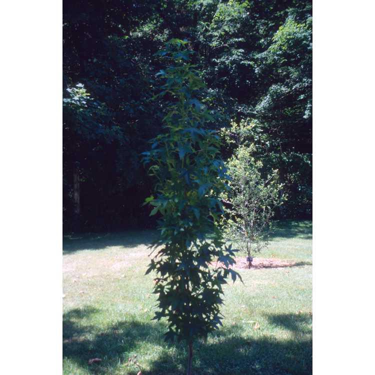 Liquidambar styraciflua 'Slender Silhouette' - columnar sweet gum