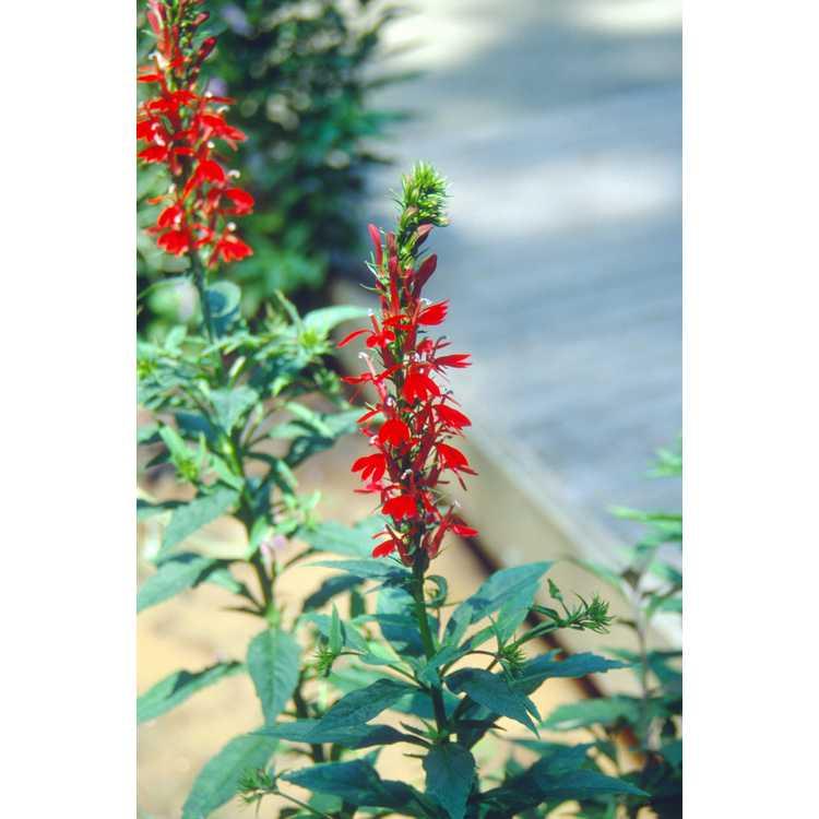 Lobelia cardinalis - cardinal flower